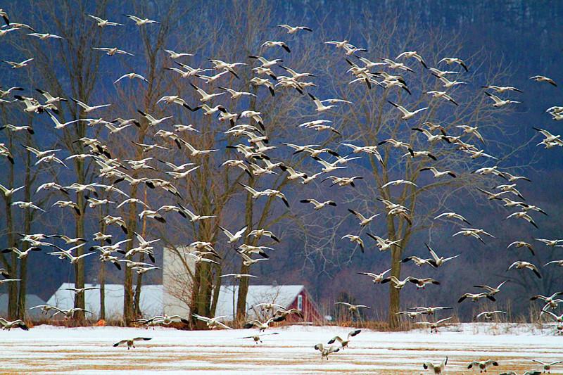 周末去宾州观雪雁、一路随拍与你分享_图1-5