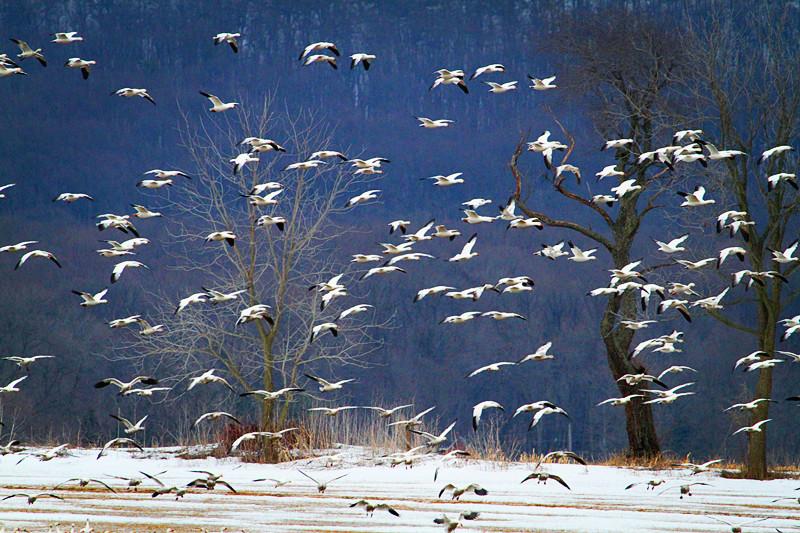 周末去宾州观雪雁、一路随拍与你分享_图1-6