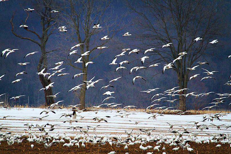 周末去宾州观雪雁、一路随拍与你分享_图1-7