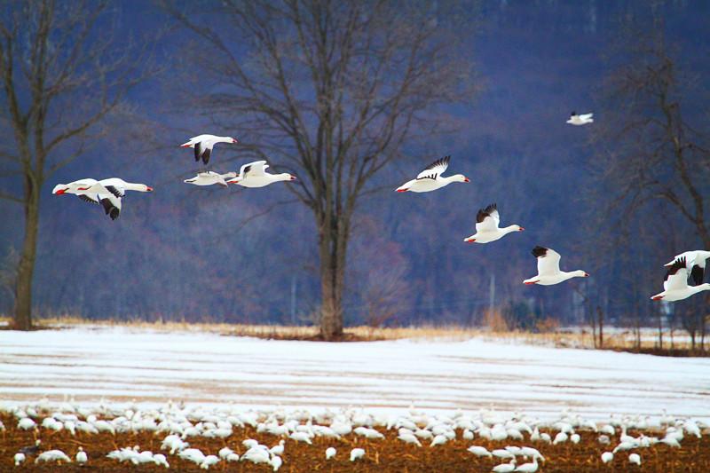 周末去宾州观雪雁、一路随拍与你分享_图1-8