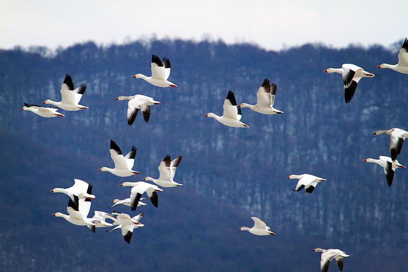 周末去宾州观雪雁、一路随拍与你分享_图1-28
