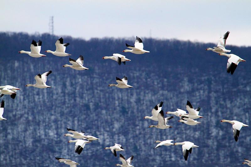 周末去宾州观雪雁、一路随拍与你分享_图1-29