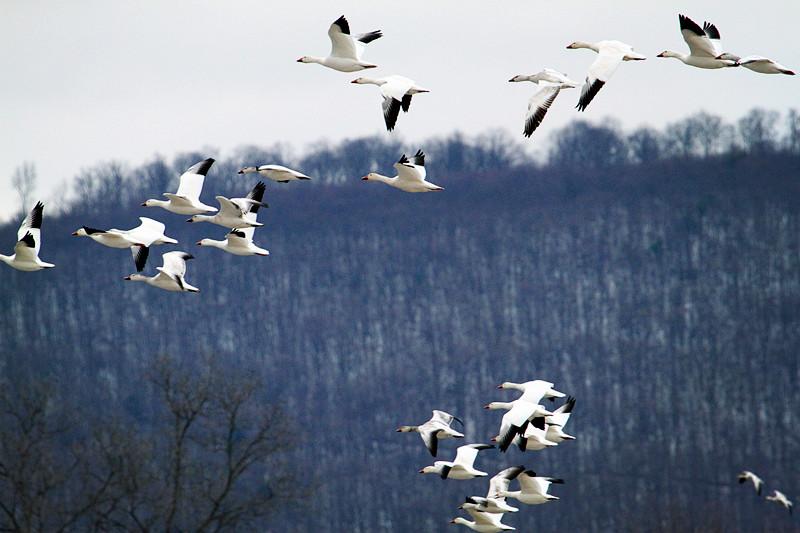 周末去宾州观雪雁、一路随拍与你分享_图1-30