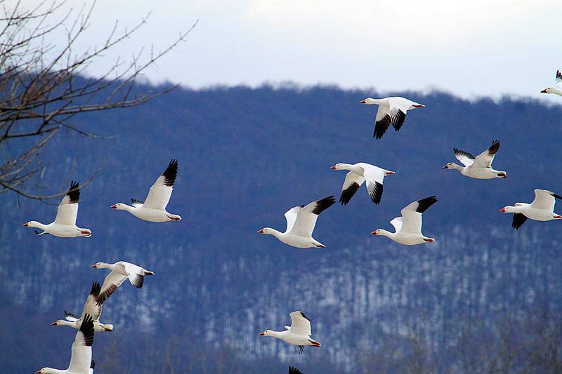 周末去宾州观雪雁、一路随拍与你分享_图1-31