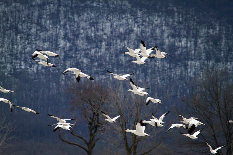 周末去宾州观雪雁、一路随拍与你分享_图1-32