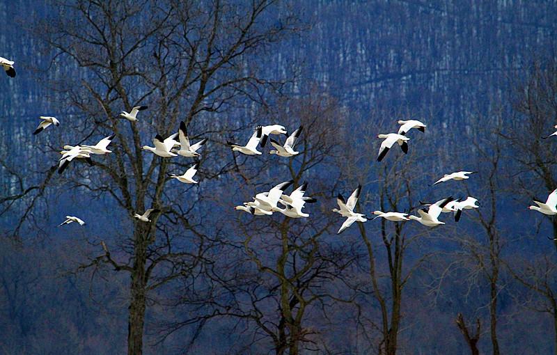周末去宾州观雪雁、一路随拍与你分享_图1-34