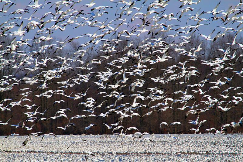 周末去宾州观雪雁、一路随拍与你分享_图1-35