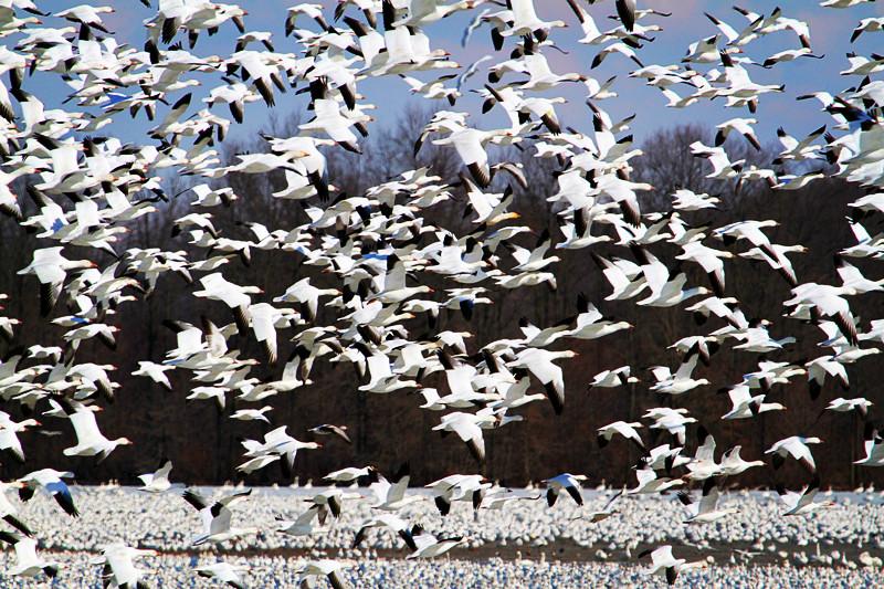 周末去宾州观雪雁、一路随拍与你分享_图1-36