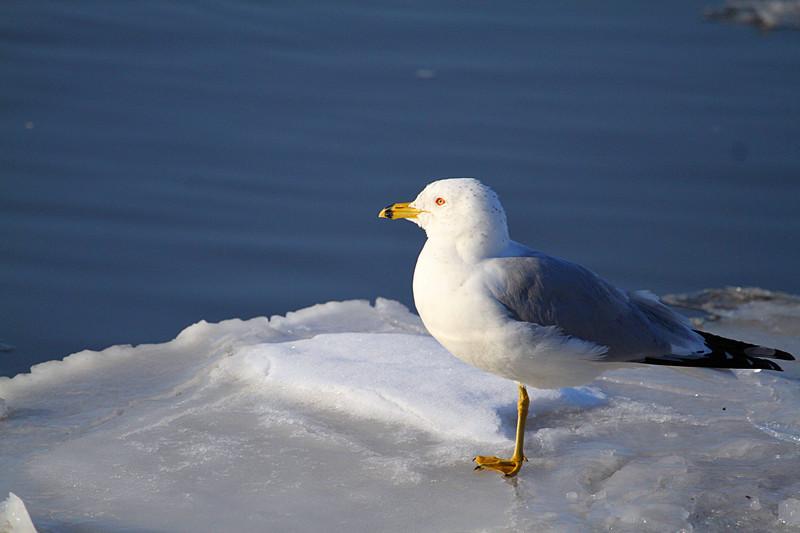漂亮海鸥冰上捕食