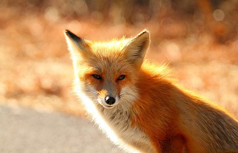 精彩继续-特写红狐狸
