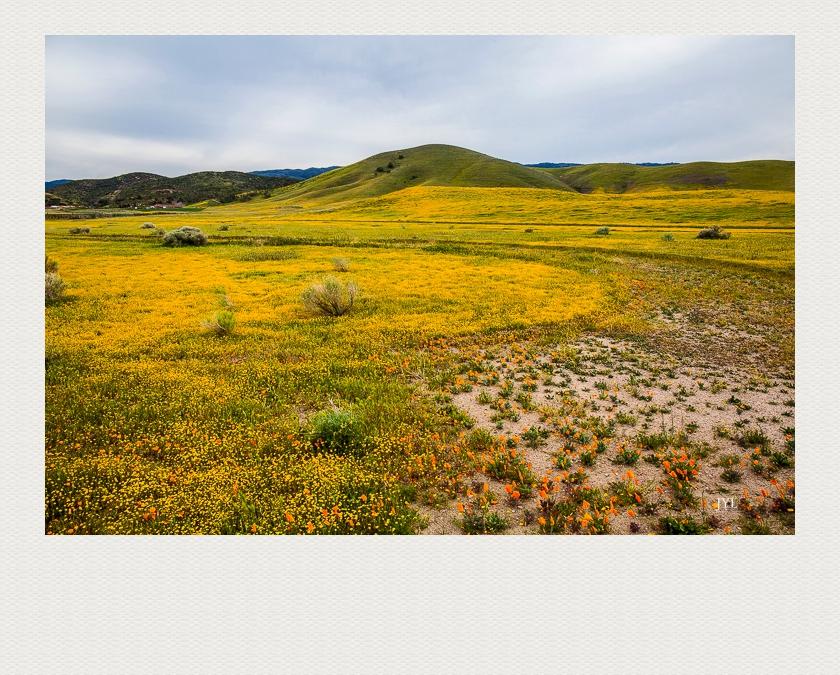 大地披上了金黄色的地毯