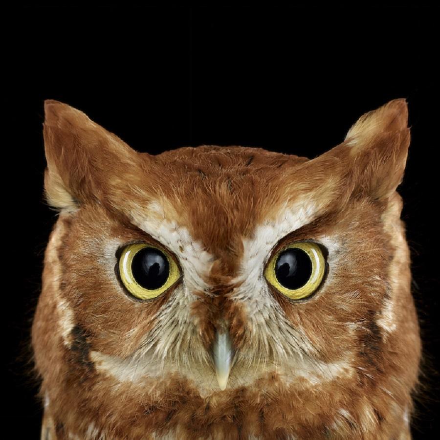 【 攝影蟲】$40,000美元中片幅數碼相机下的貓頭鷹俏像_图1-2