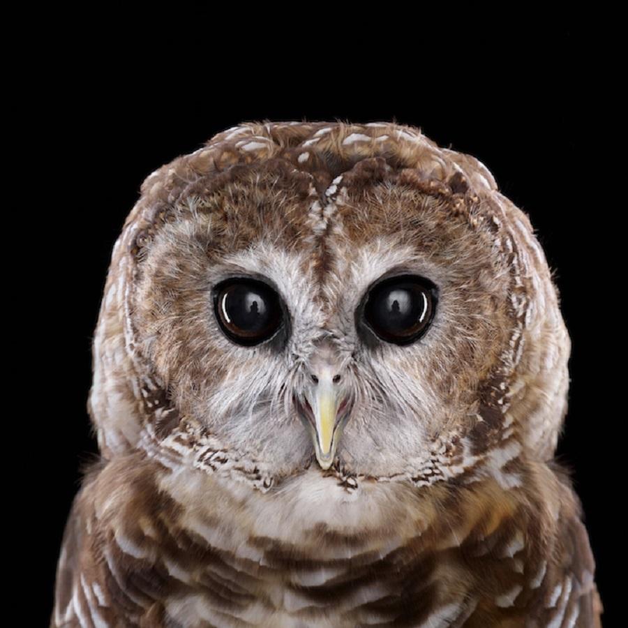 【 攝影蟲】$40,000美元中片幅數碼相机下的貓頭鷹俏像_图1-7