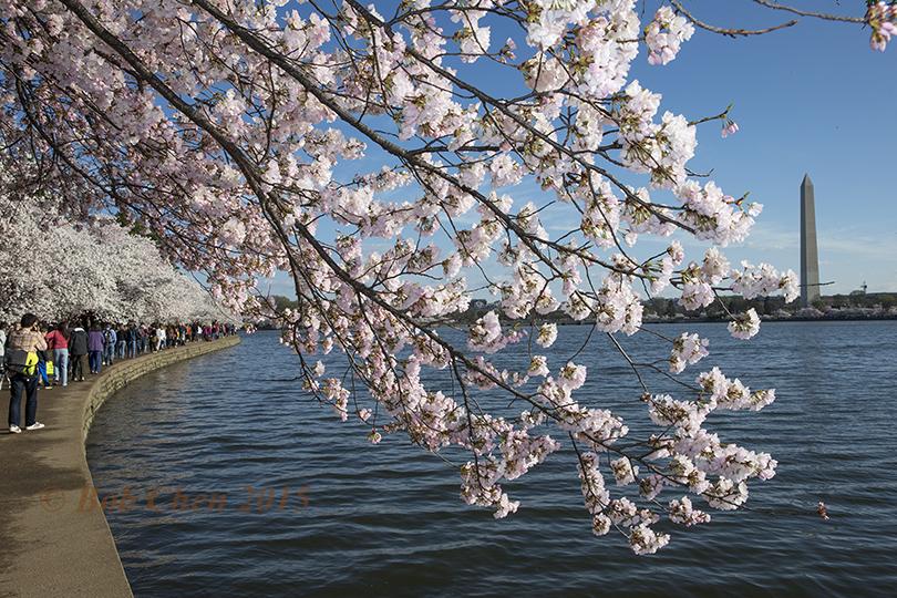 [海洋攝影] 2015年華盛頓DC櫻花節_图1-5