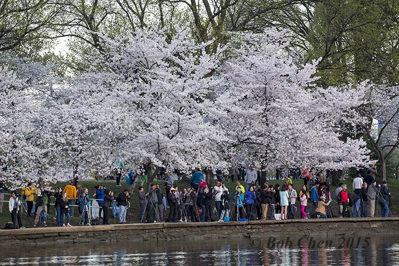 [海洋攝影] 2015年華盛頓DC櫻花節_图1-6
