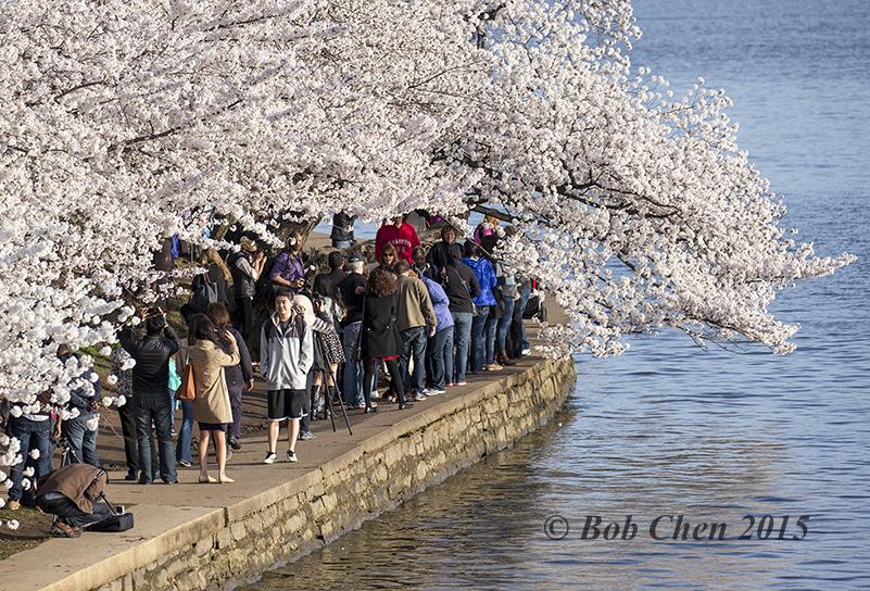 [海洋攝影] 2015年華盛頓DC櫻花節_图1-11