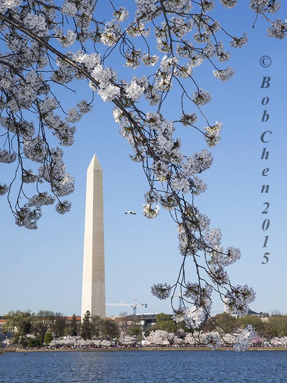 [海洋攝影] 2015年華盛頓DC櫻花節_图1-15