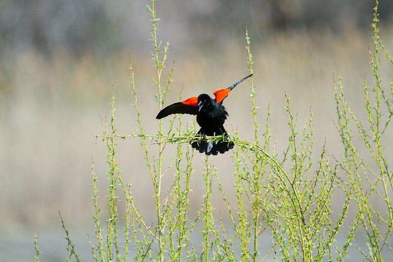 今天去湿地拍鸟-Alley pond的