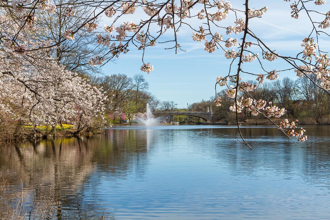 樱花盛开在纽瓦克_图1-3