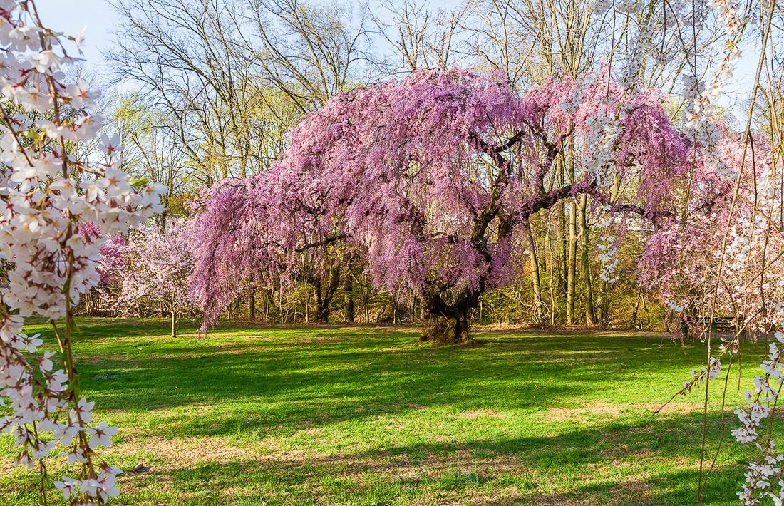 樱花盛开在纽瓦克_图1-5