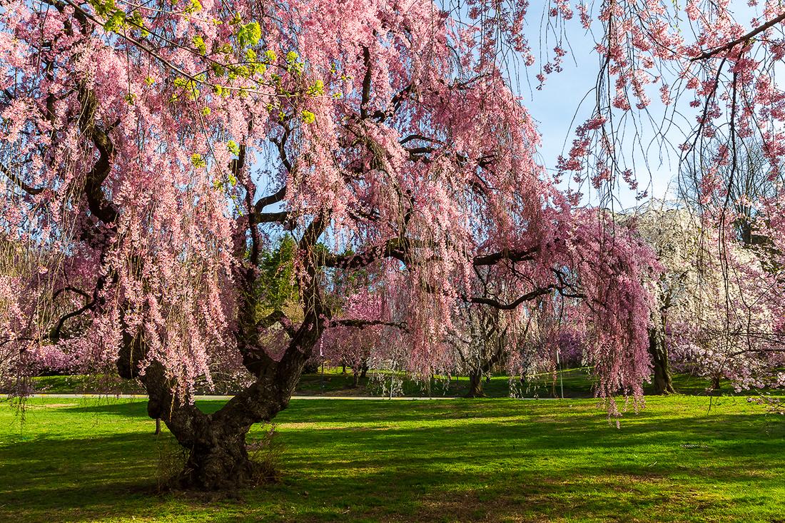 樱花盛开在纽瓦克_图1-6