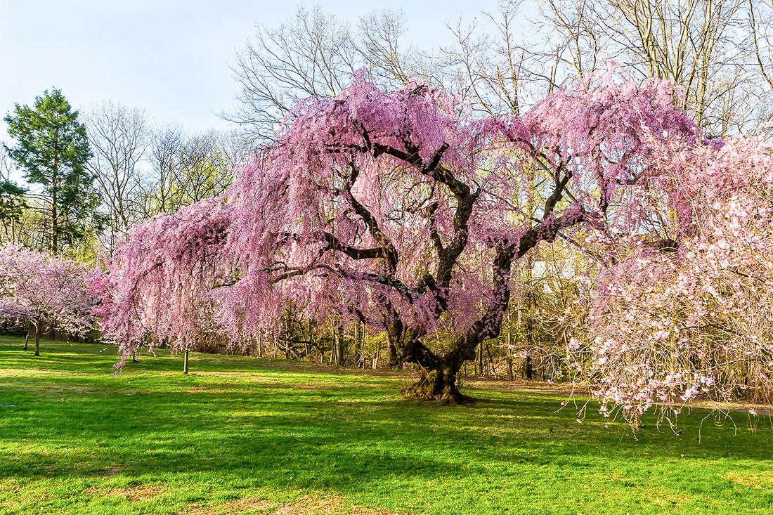 樱花盛开在纽瓦克_图1-7
