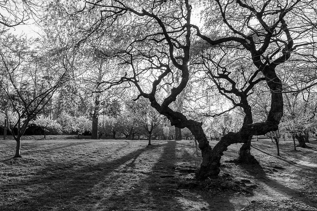 樱花盛开在纽瓦克_图1-19