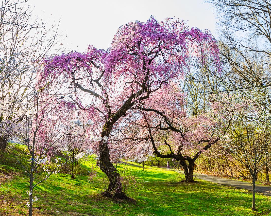 樱花盛开在纽瓦克_图1-9