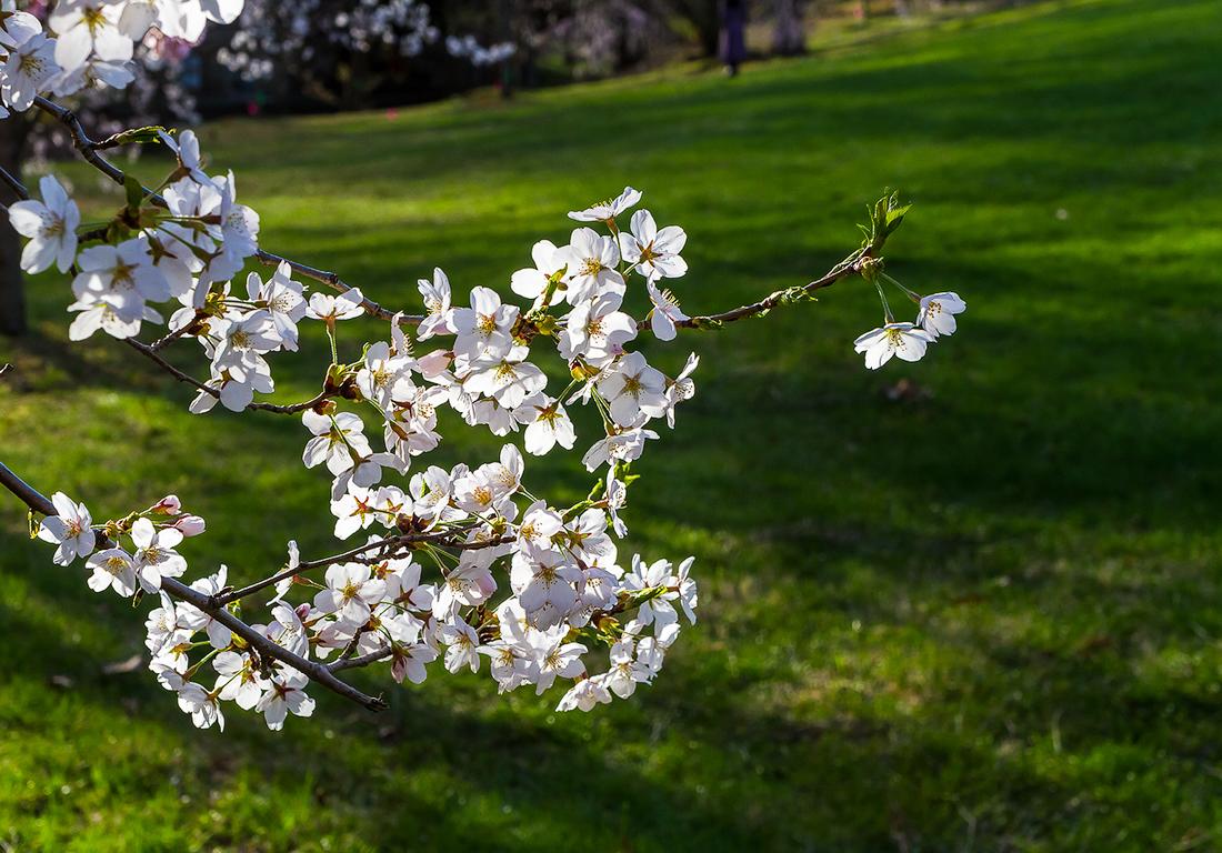 樱花盛开在纽瓦克_图1-11