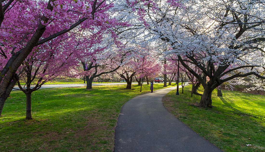 樱花盛开在纽瓦克_图1-12