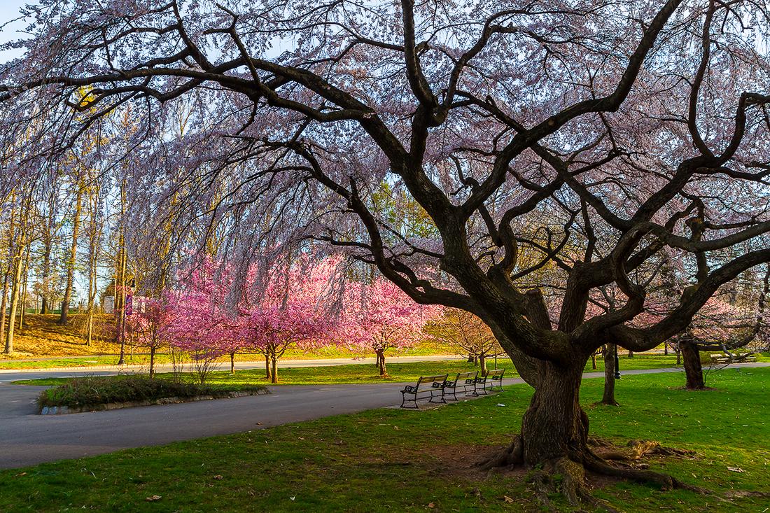 樱花盛开在纽瓦克_图1-13