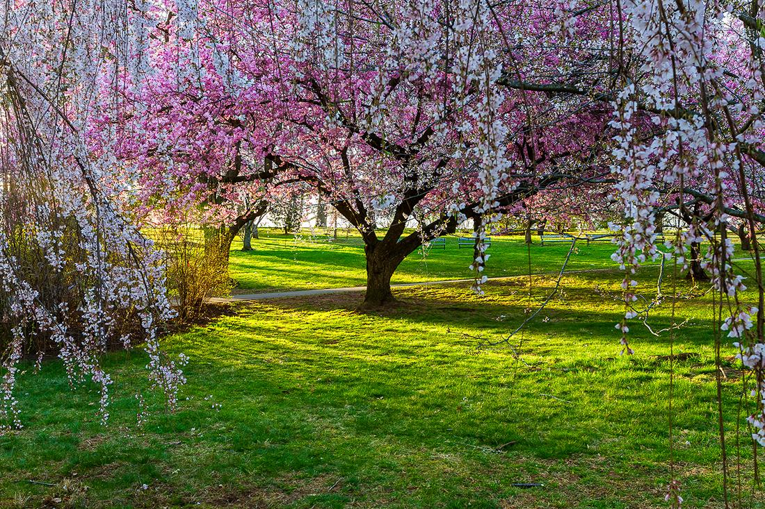 樱花盛开在纽瓦克_图1-15