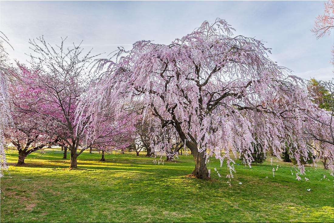 樱花盛开在纽瓦克_图1-16