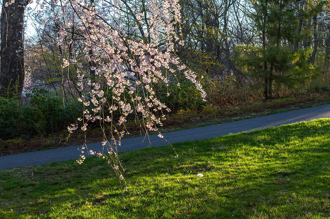 樱花盛开在纽瓦克_图1-17