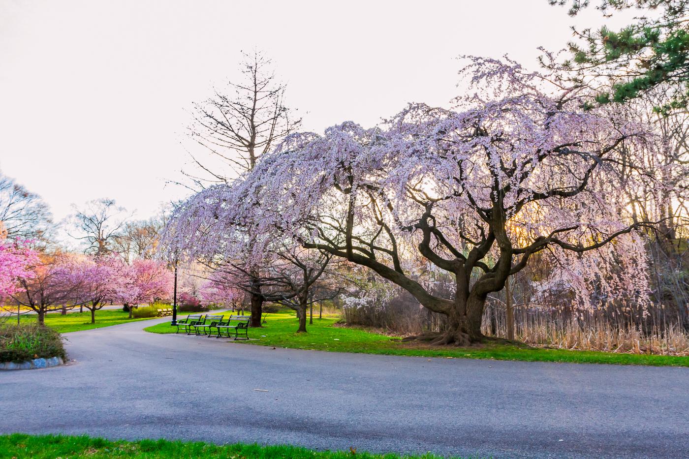 樱花盛开在纽瓦克_图1-18