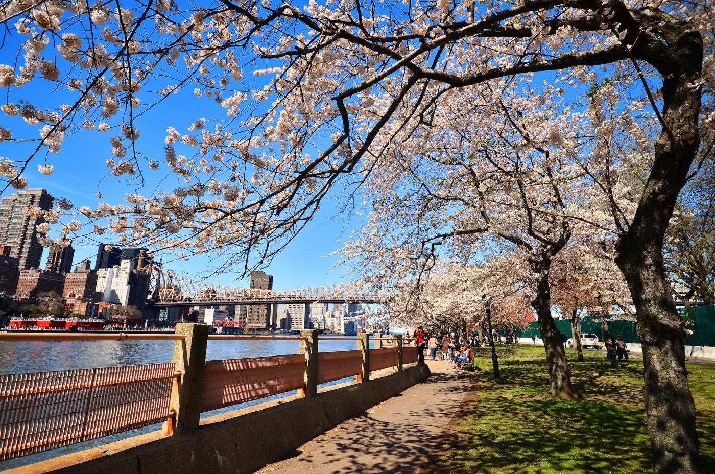 春光甚好 罗岛樱花已然盛放_图1-1
