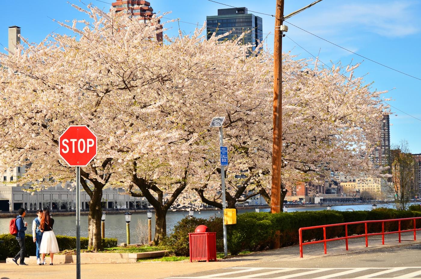 春光甚好 罗岛樱花已然盛放_图1-3