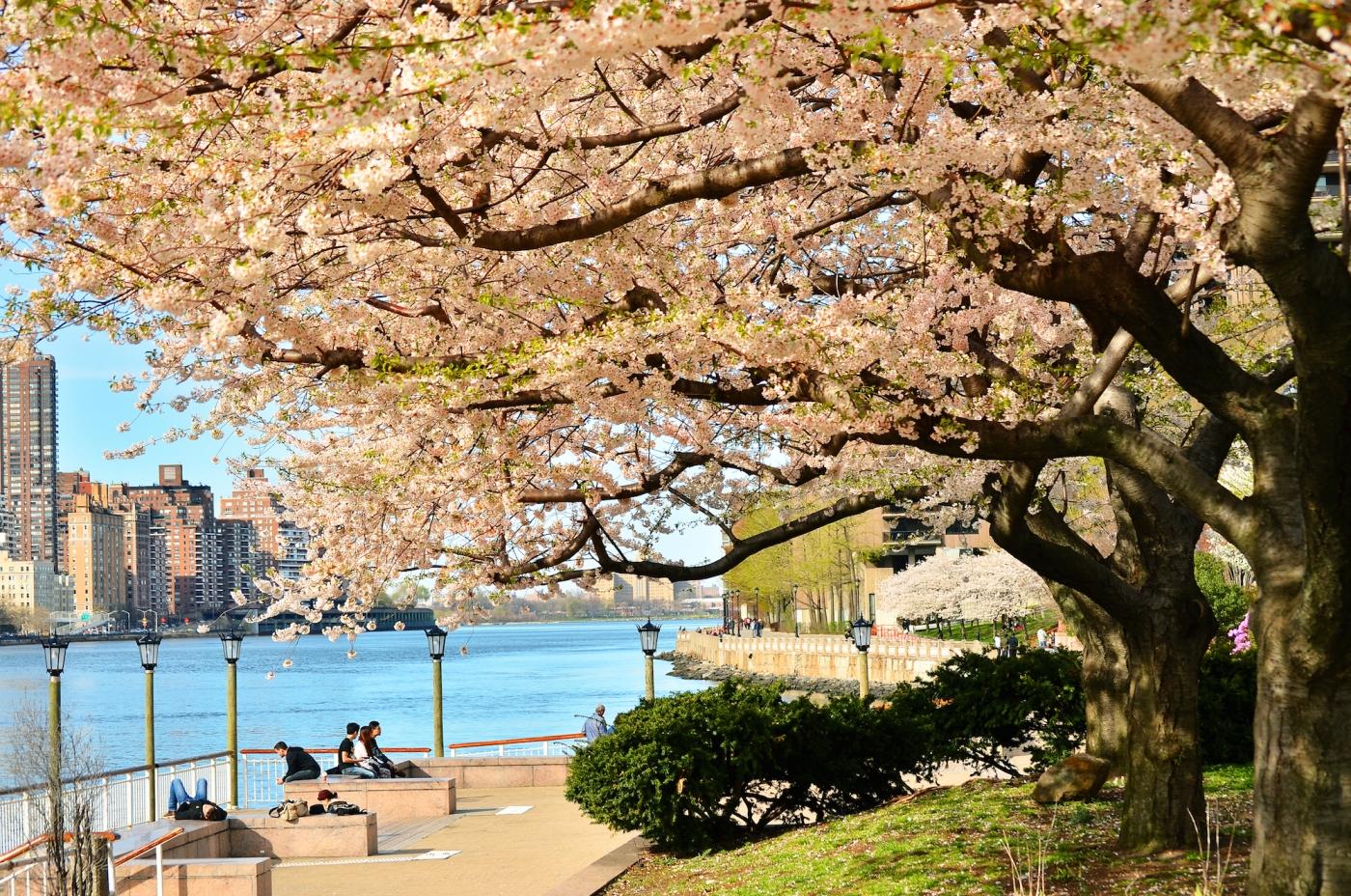 春光甚好 罗岛樱花已然盛放_图1-4