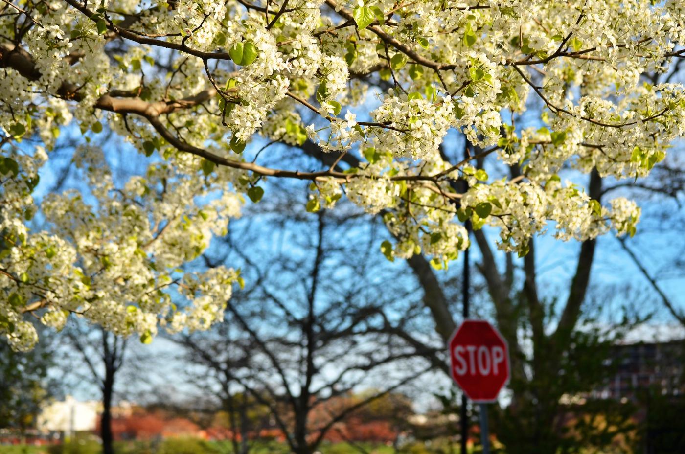 春光甚好 罗岛樱花已然盛放_图1-6