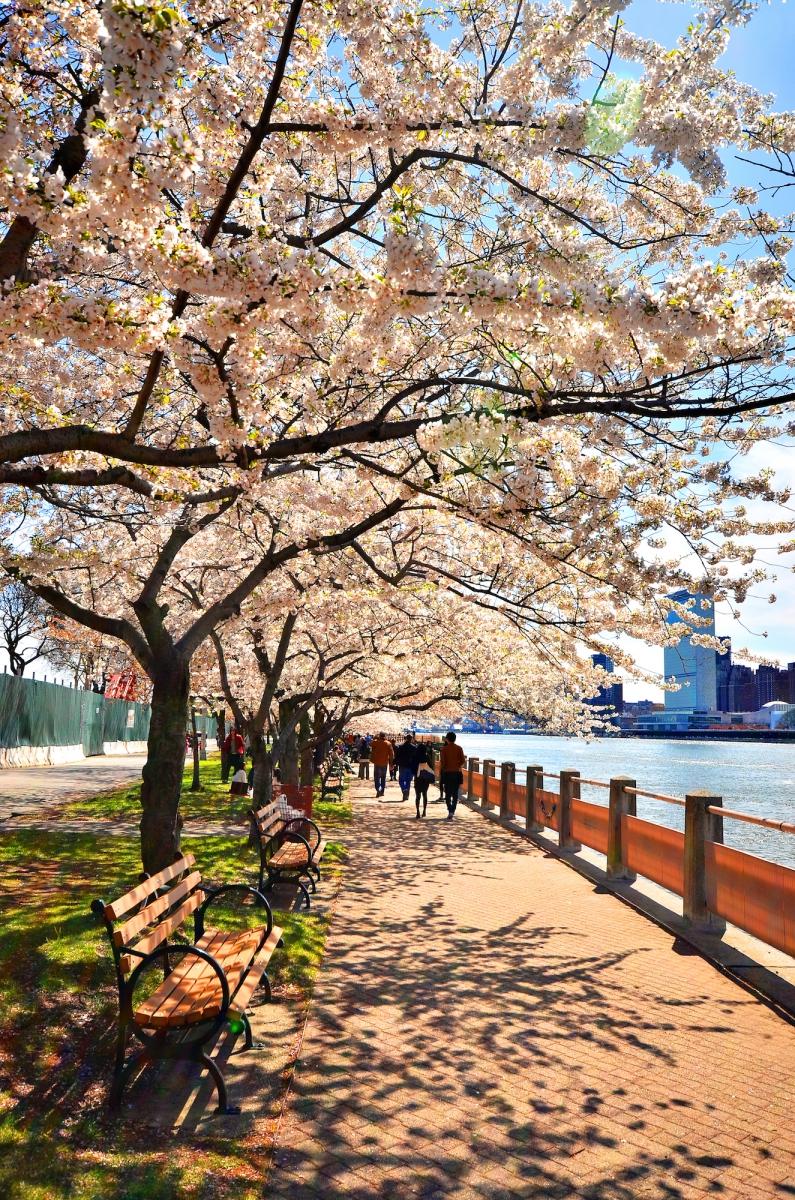 春光甚好 罗岛樱花已然盛放_图1-7