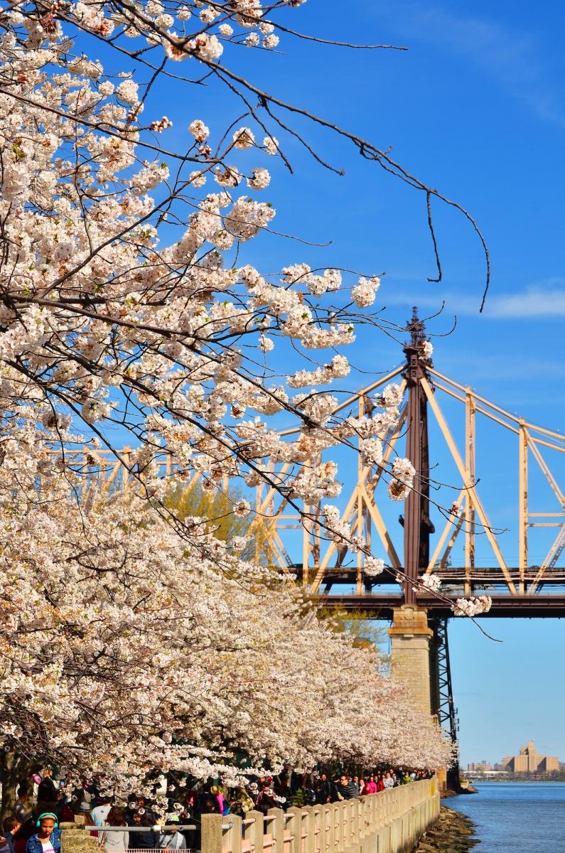 春光甚好 罗岛樱花已然盛放_图1-8