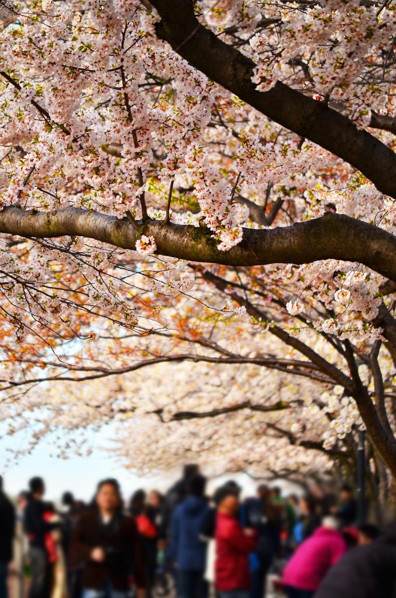 春光甚好 罗岛樱花已然盛放_图1-10