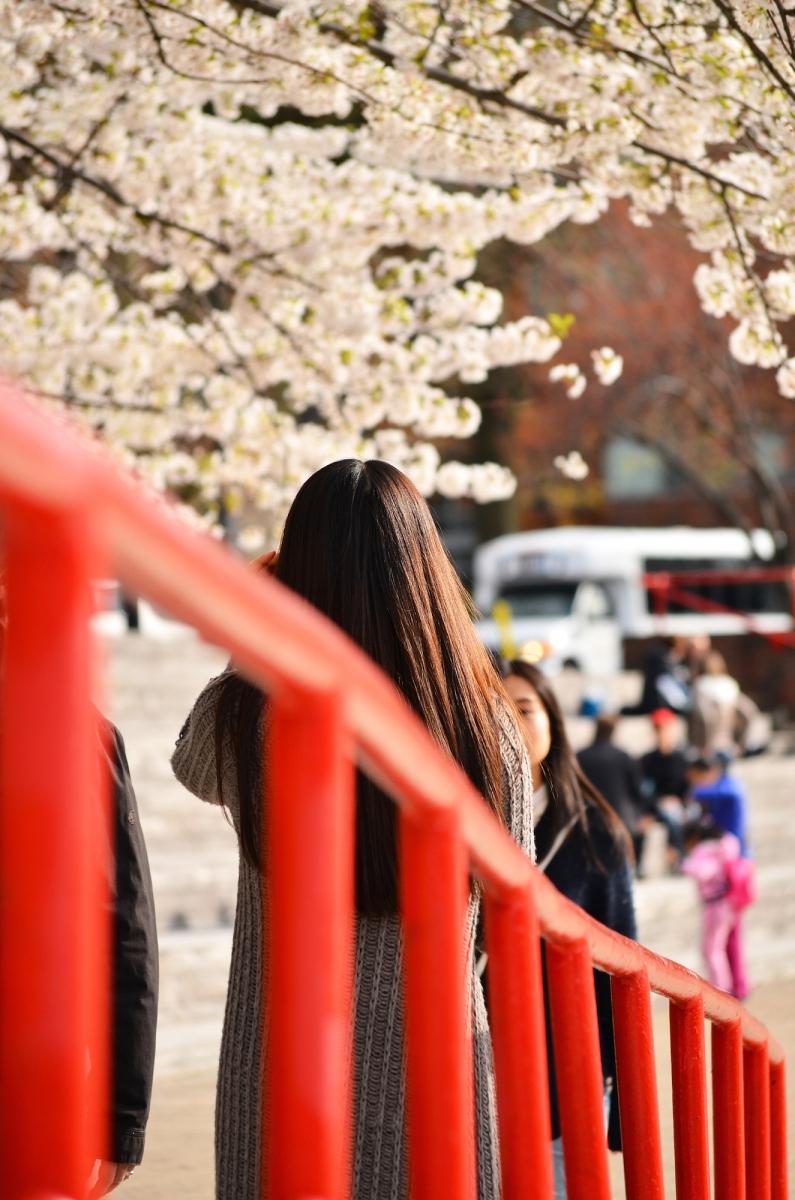 春光甚好 罗岛樱花已然盛放_图1-14