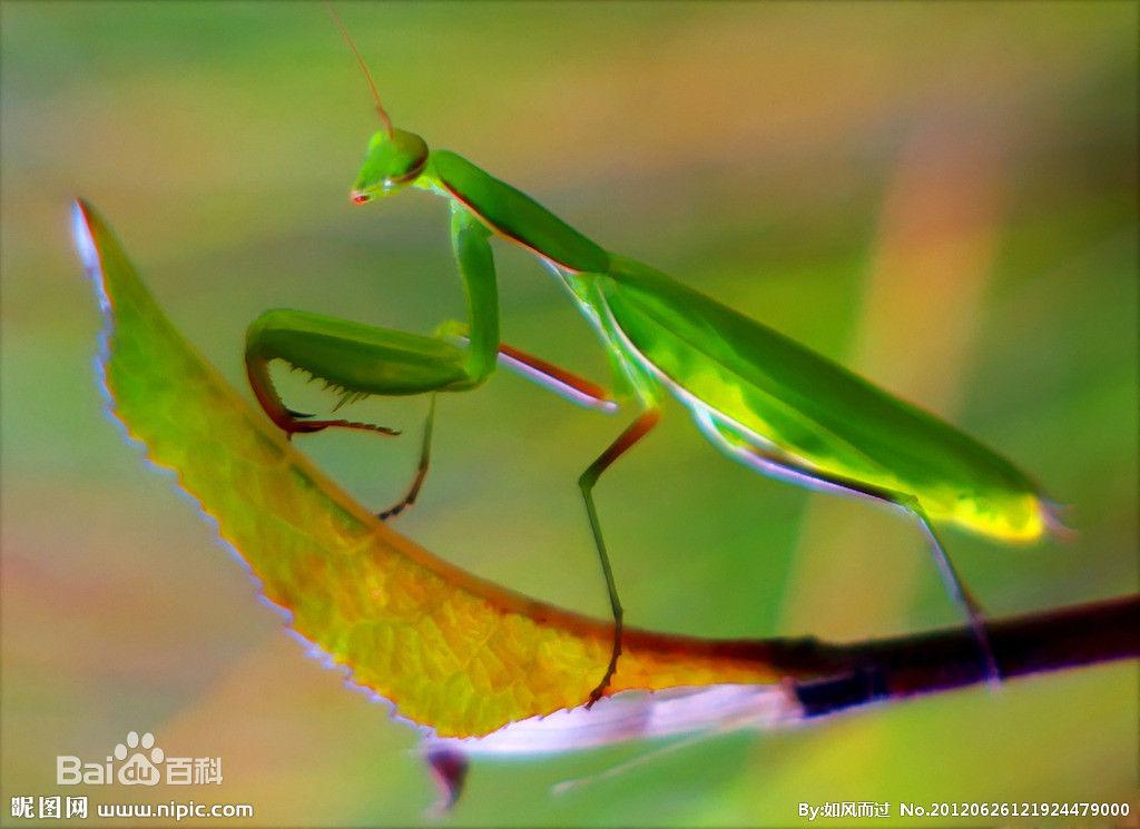 螳螂_图1-3