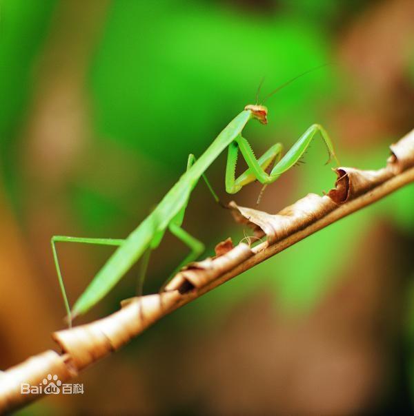 螳螂_图1-2