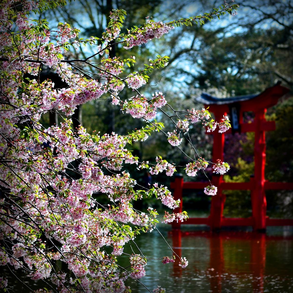 布鲁克林植物园 樱花赏_图1-8