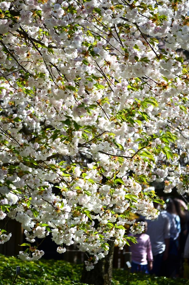 布鲁克林植物园 樱花赏_图1-4
