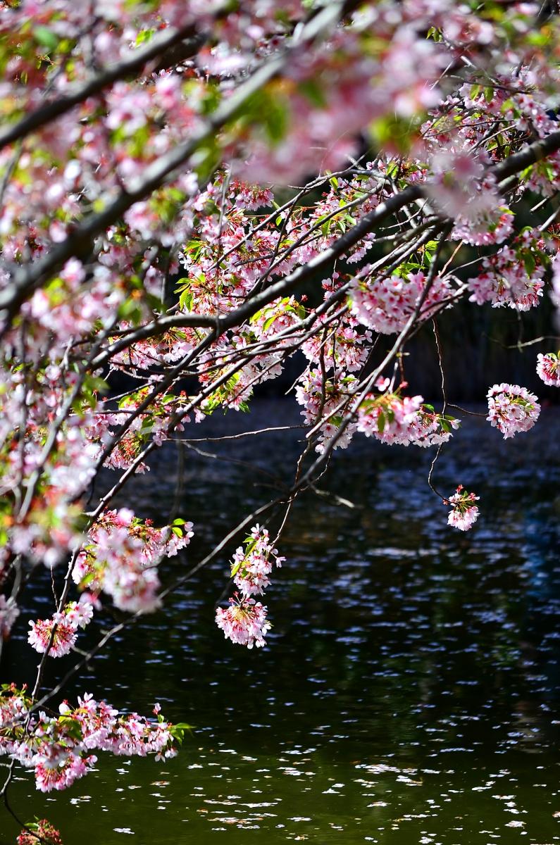 布鲁克林植物园 樱花赏_图1-3