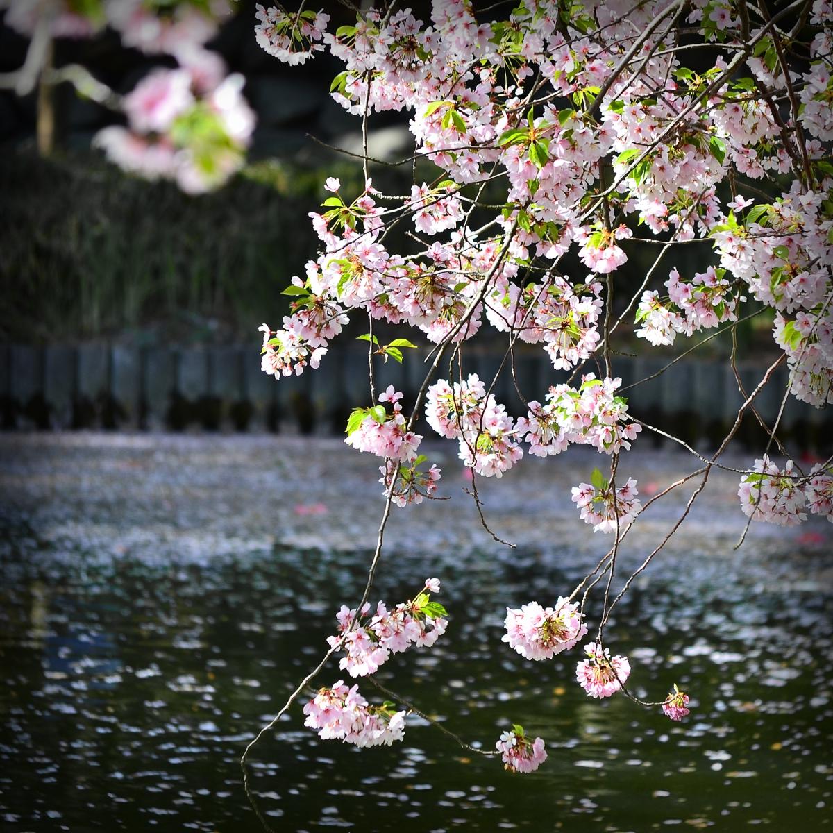 布鲁克林植物园 樱花赏_图1-9