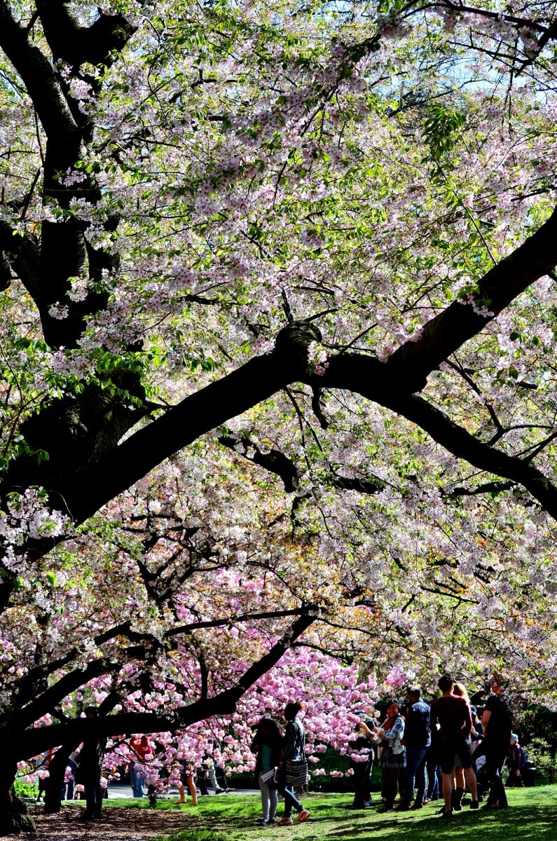 布鲁克林植物园 樱花赏_图1-12